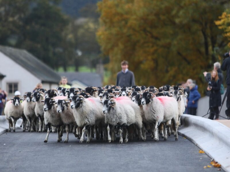 Sheep being driven across the new Pooley Bridge